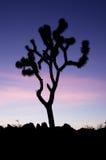 Joshua Tree Silhouette Royalty Free Stock Photos
