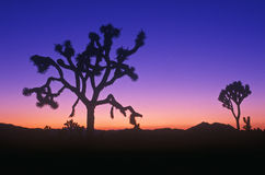 Joshua Tree silhouette, desert in bloom, CA Stock Photo
