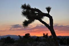 Joshua Tree silhouette Stock Image