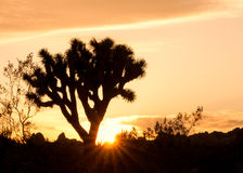 Joshua Tree Silhouette in Sunset Royalty Free Stock Photography