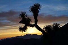 Joshua Tree Silhouette in Woestijnzonsondergang Stock Foto's