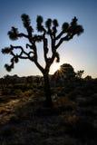 Joshua Tree silhouetted Royaltyfri Fotografi