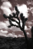 Joshua Tree sky, California Classic Desert Nature Royalty Free Stock Photo