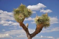 Joshua Tree and sky Stock Photo