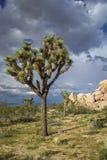 Joshua Tree som växer i Mojaveöknen - Joshua Tree National Royaltyfri Foto