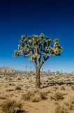 Joshua Tree Standing Alone on Clear Day Royalty Free Stock Photo
