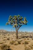 Joshua Tree Standing Alone il chiaro giorno Fotografia Stock Libera da Diritti