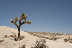 Sand dunes with one Joshua Tree and the blue sky royalty free stock image