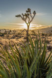 Joshua Tree with Sun Set Through Yucca Plant Royalty Free Stock Images