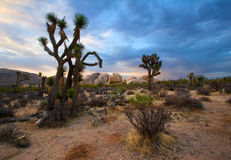 Joshua Tree Sunrise Royalty Free Stock Images