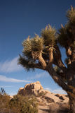Joshua Tree Sunrise Cloud Landscape California National Park Royalty Free Stock Photo
