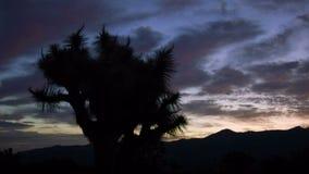 Joshua Tree Sunrise Pan. Sunrise behind Joshua Tree silhouette stock video