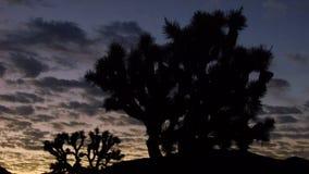 Joshua Tree Sunrise Tilt. Sunrise behind Joshua Tree National Park stock footage