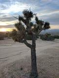 Joshua Tree. At sunset royalty free stock photos