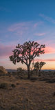Joshua Tree Sunset Foto de Stock Royalty Free