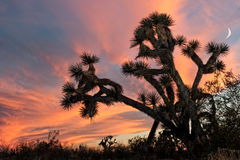Joshua Tree at Sunset Stock Image