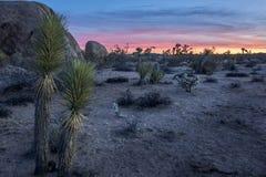 Joshua Tree Sunset med kaktuns arkivbilder