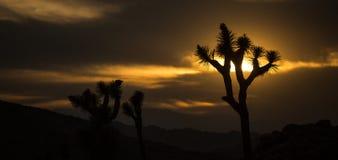 Joshua Tree Sunset Silhouette Royaltyfria Bilder