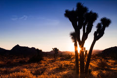 Joshua Tree Sunset Stock Images