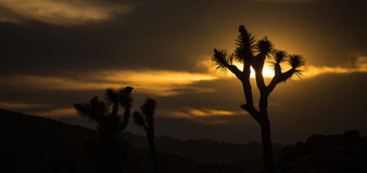 Joshua Tree Sunset Silhouette Royalty Free Stock Images