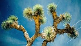 Joshua Tree. Time-lapse of a Joshua Tree stock footage