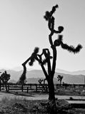 Joshua Tree tordu avec le ranch clôturant à l'arrière-plan Photos libres de droits