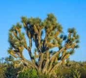 Joshua tree Royalty Free Stock Photo