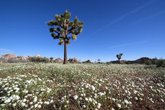 Joshua Tree and Wildflower Stock Photos