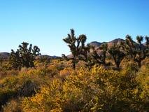 Joshua tree and yellow flowers. Joshua Tree forest whit yellow flowers in the Mojave Desert (California, USA Stock Photos