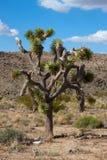 Joshua tree (Yucca brevifolia) Stock Image
