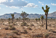 Joshua tree (Yucca brevifolia) Stock Photo