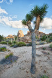 Joshua tree (Yucca brevifolia) Stock Photography