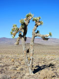 Joshua Tree, Yucca brevifolia, California Royalty Free Stock Photos