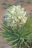 Joshua Tree (Yucca brevifolia) flower. Stock Photo