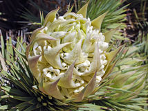 Joshua Tree (Yucca brevifolia) flower. Royalty Free Stock Photography