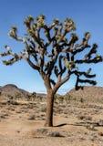 Joshua Tree - Yucca brevifolia Royalty Free Stock Photo