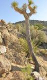 Joshua tree and yucca on desert hillside Royalty Free Stock Photography