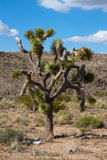 Joshua tree (Yuccabrevifolia) fotografering för bildbyråer