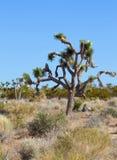 Joshua tree (Yuccabrevifoliaen) arkivbilder