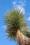 Joshua tree (Yuccabrevifoliaen) fotografering för bildbyråer