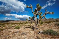 Joshua tree (Yuccabrevifoliaen) royaltyfri bild
