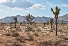 Joshua tree (Yuccabrevifoliaen) arkivfoto