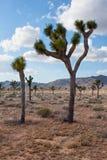 Joshua tree (Yuccabrevifoliaen) arkivfoton