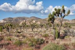 Joshua tree (Yuccabrevifoliaen) royaltyfria foton
