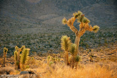 Joshua Trees royalty free stock photos
