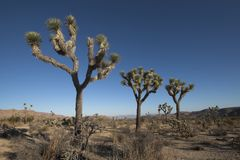 Joshua Trees. In Desert of Southern California Royalty Free Stock Photos