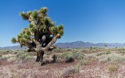 Joshua Trees Stock Photography
