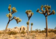 Joshua trees. In the Joshua Tree National Park Stock Photo