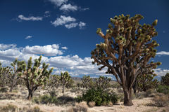 Joshua Trees Stockfoto