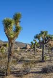 Joshua Trees image stock